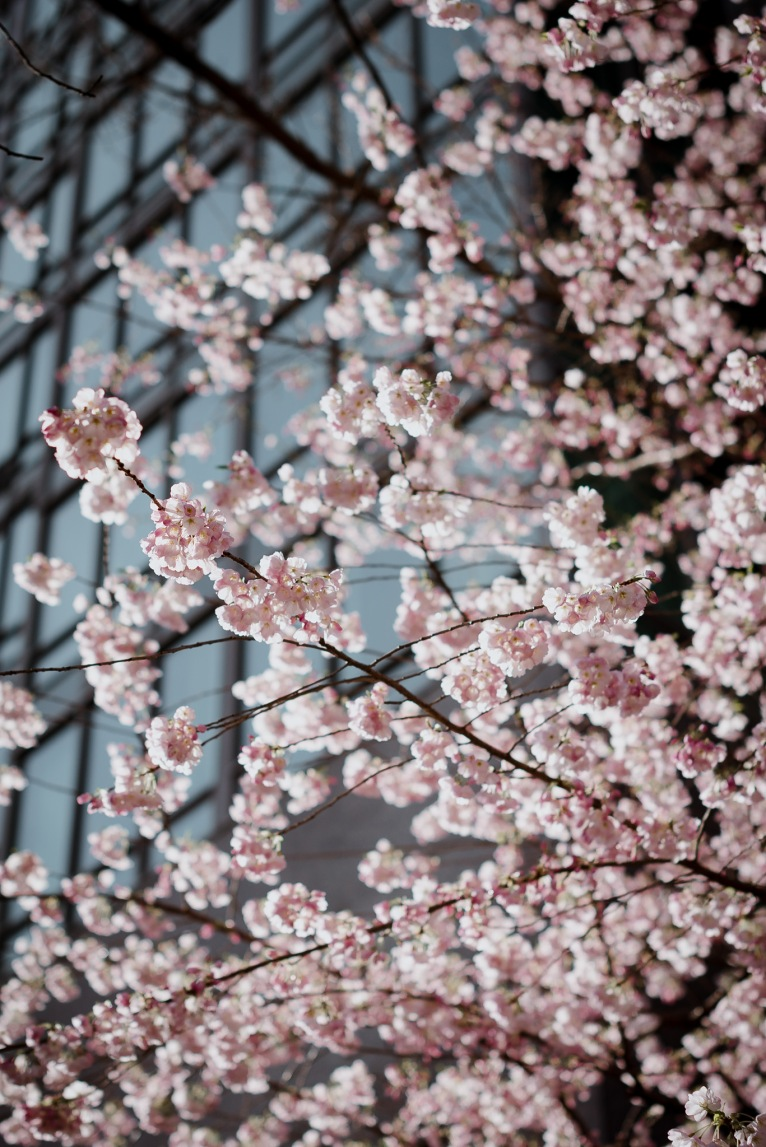 cherry blossoms, vancouver, sky, blue, pink, photographer, engagement, wedding